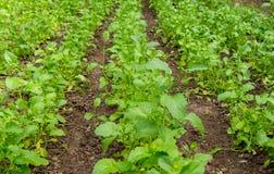 Campo con il brassica napus sbocciante della pianta, per Immagine Stock