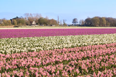 Campo con il giacinto rosa e bianco Fotografia Stock Libera da Diritti