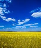 Campo con il seme di ravizzone del seme oleifero Fotografia Stock Libera da Diritti