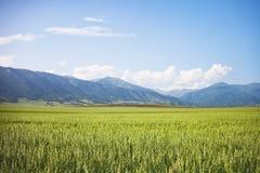 Campo con l'avena altai Paesaggio di ESTATE Fotografia Stock