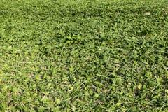 Campo con la barbabietola da zucchero Immagine Stock Libera da Diritti