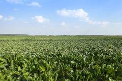 Campo con la barbabietola da zucchero Fotografia Stock Libera da Diritti