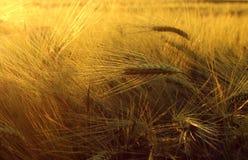 Campo con la cebada en puesta del sol Imágenes de archivo libres de regalías