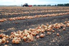 Campo con la cipolla durante la raccolta Fotografia Stock Libera da Diritti
