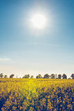 Campo con la fioritura del seme di ravizzone giallo del seme oleifero Immagini Stock Libere da Diritti