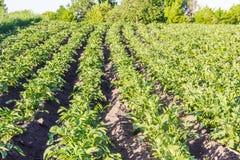 Campo con la piantagione delle patate Fotografia Stock