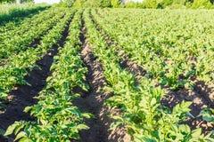 Campo con la piantagione delle patate Immagini Stock