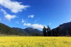 Campo con la rabina amarilla floreciente de la semilla oleaginosa Fotos de archivo