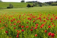 Campo con las amapolas florecientes Fotos de archivo libres de regalías