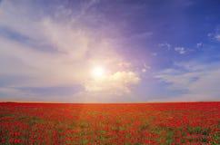 Campo con las amapolas florecientes Foto de archivo libre de regalías