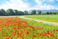 Campo con las amapolas rojas Fotos de archivo libres de regalías