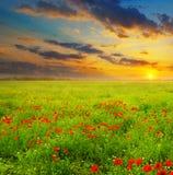 Campo con las amapolas y la salida del sol Fotografía de archivo libre de regalías