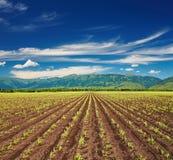 Campo con las cosechas del brote imagen de archivo