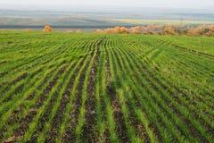 Campo con las cosechas del invierno Fotos de archivo libres de regalías