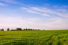 Campo con las cosechas del invierno Primavera Foto de archivo libre de regalías