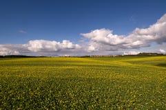Campo con las flores amarillas imagenes de archivo