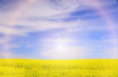Campo con las flores amarillas de la rabina Imagen de archivo libre de regalías