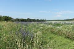 Campo con las flores azules Imagenes de archivo