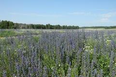 Campo con las flores azules Foto de archivo