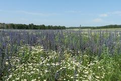 Campo con las flores azules Fotografía de archivo
