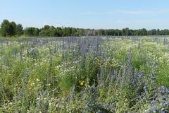 Campo con las flores azules Fotos de archivo