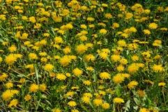 Campo con las flores del diente de león foto de archivo libre de regalías
