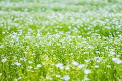 Campo con las flores del lino Fotos de archivo libres de regalías