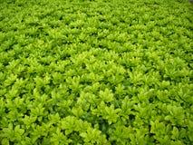 Campo con las pequeñas hojas verdes - fondo del primer imagen de archivo libre de regalías