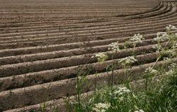 Campo con las plantas de patata Fotografía de archivo libre de regalías