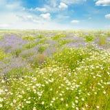 Campo con le margherite ed il cielo blu, Immagini Stock Libere da Diritti