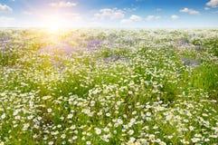 Campo con le margherite ed il sole su cielo blu Immagini Stock