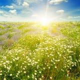Campo con le margherite ed il sole su cielo blu, Fotografia Stock