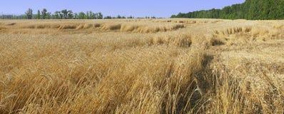 Campo con le orecchie mature dei cereali Immagini Stock Libere da Diritti