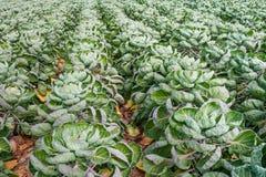 Campo con le piante dei cavoletti di Bruxelles dalla fine Fotografie Stock