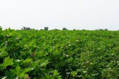Campo con le piante di cotone che stanno cominciando fiorire fotografie stock libere da diritti