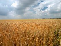 Campo con le spighe del grano del granoturco Immagini Stock