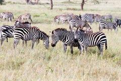 Campo con le zebre in Serengeti, Tanzania Fotografia Stock Libera da Diritti