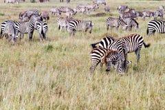 Campo con le zebre in Serengeti, Tanzania Fotografia Stock
