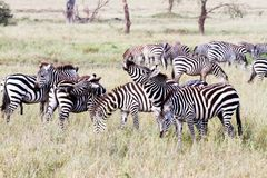 Campo con le zebre in Serengeti, Tanzania Fotografie Stock Libere da Diritti