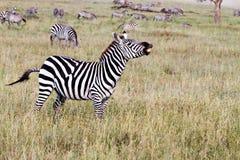Campo con le zebre in Serengeti, Tanzania Immagini Stock