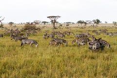 Campo con le zebre in Serengeti, Tanzania Fotografie Stock