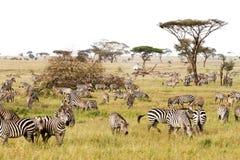 Campo con le zebre in Serengeti, Tanzania Immagini Stock Libere da Diritti