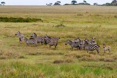 Campo con le zebre in Serengeti, Tanzania Immagine Stock