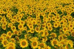 Campo con los girasoles amarillos brillantes. Foto de archivo libre de regalías