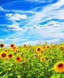 Campo con los girasoles florecientes Fotografía de archivo libre de regalías