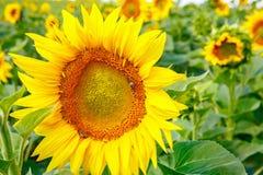 Campo con los girasoles y las abejas que recogen la miel Fotografía de archivo libre de regalías