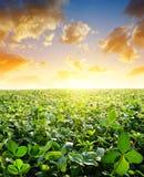 Campo con los tréboles verdes en la puesta del sol Imagenes de archivo