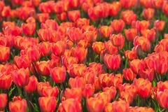 Campo con los tulipanes en Holanda Foto de archivo libre de regalías