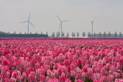 Campo con los tulipanes en Holanda Foto de archivo