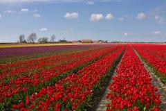 Campo con los tulipanes rojos Fotografía de archivo